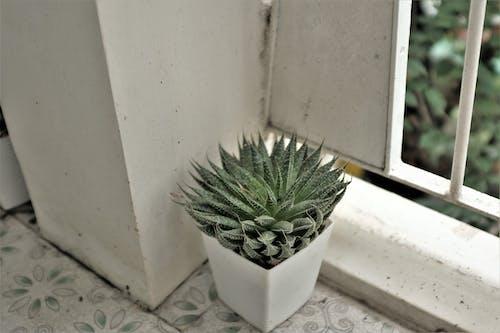 仙人掌, 工厂, 植物, 花園 的 免费素材照片
