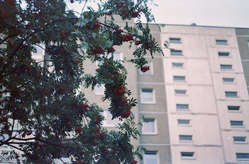 Красное цветущее дерево возле здания