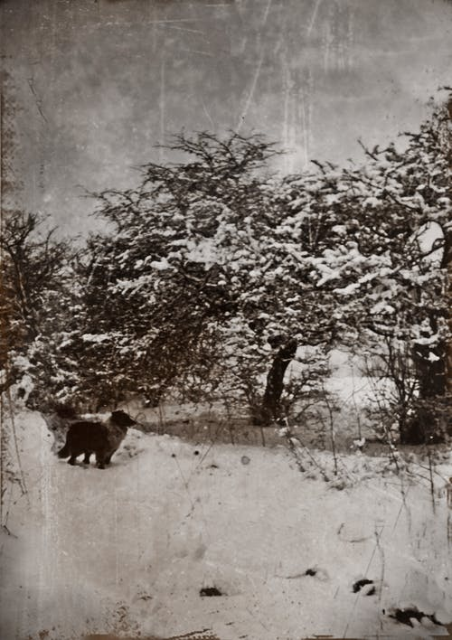 An Old Grayscale Photo Of A Dog Standing  Close To Trees Covered In Snow On A Cold Winter's Day