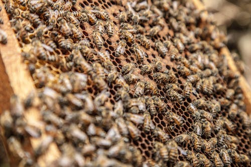 Honeybees laying eggs in honeycombs with hexagonal prismatic wax cells in summer in daylight