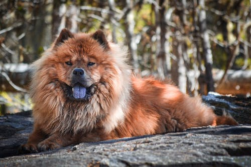 Free stock photo of brown dog, chow, chow breed, chow chow