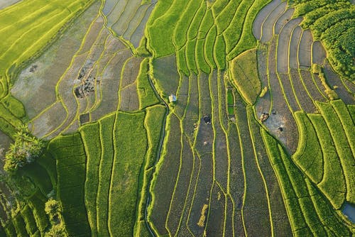 Foto profissional grátis de agricultura, área, arroz, arrozal