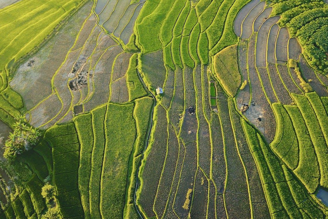 agricultură, Asia, câmp