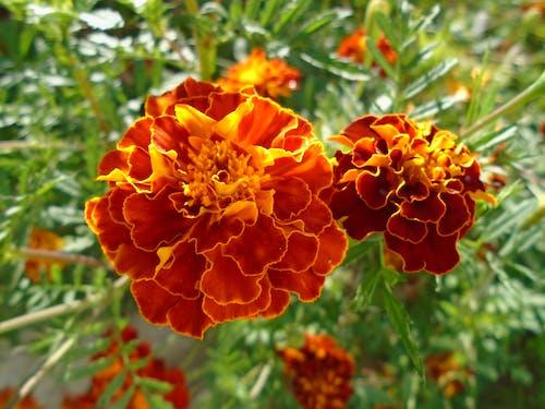 Çiçek açmak, Çiçekler, çuha çiçeği, gri içeren Ücretsiz stok fotoğraf