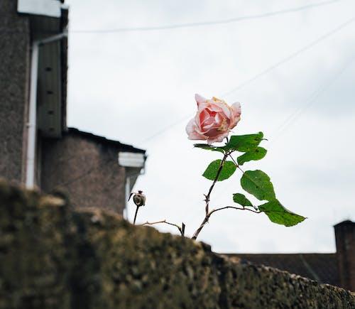 Free stock photo of flower, no people, rose, urban