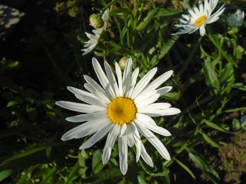 beyaz, Çiçekler, gölge, kahverengi içeren Ücretsiz stok fotoğraf