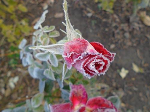 beyaz, çekilmiş, Çiçekler, don içeren Ücretsiz stok fotoğraf