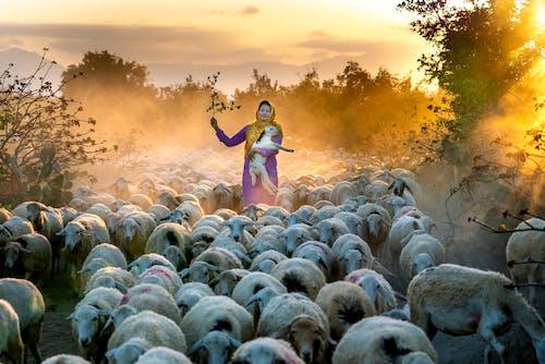 besi hayvanları, büyükbaş hayvan sürüsü, Çiftlik, Kadın içeren Ücretsiz stok fotoğraf