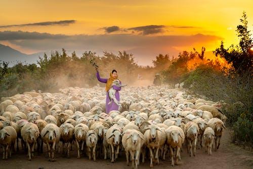 Ảnh lưu trữ miễn phí về bầy đàn, bình minh, chăn nuôi, cừu