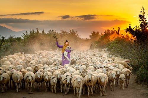 Základová fotografie zdarma na téma farma, hospodářská zvířata, ovce, rozbřesk