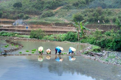 Imagine de stoc gratuită din agricultori, câmp de orez, fermă, mediu