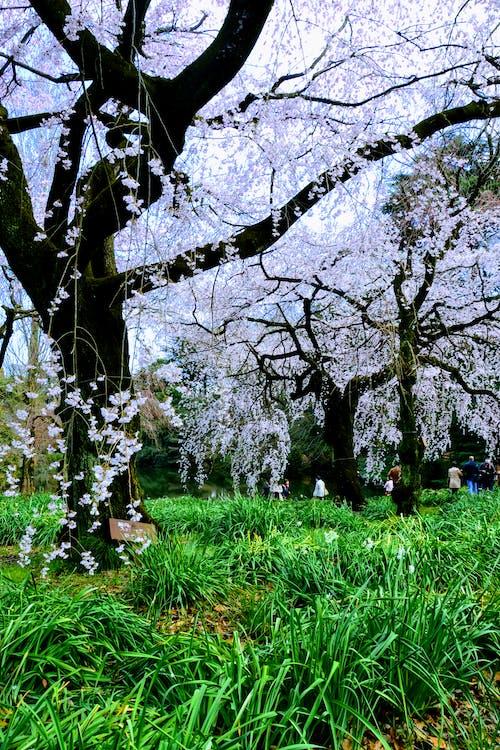 Fotos de stock gratuitas de Japón, sakura