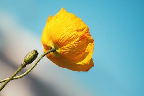 Gratis arkivbilde med blå, blomst, blomstre, flora