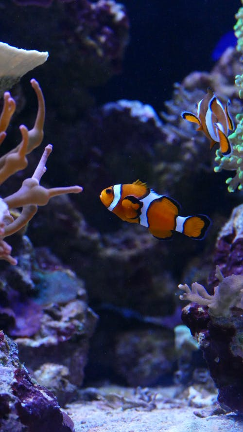 Clown Fish In An Aquarium