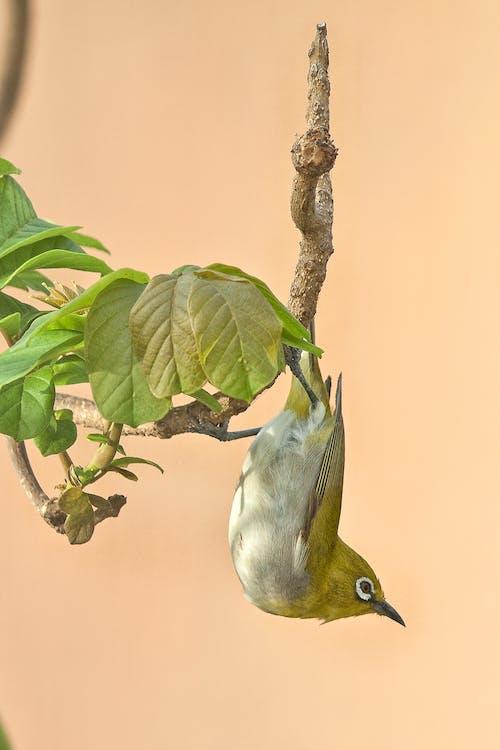 Ilmainen kuvapankkikuva tunnisteilla eläin, laululintu, lintu, villieläimet