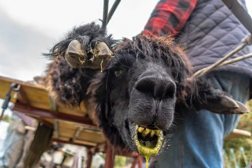 Free stock photo of alpaca, alpaca shearing, camel face