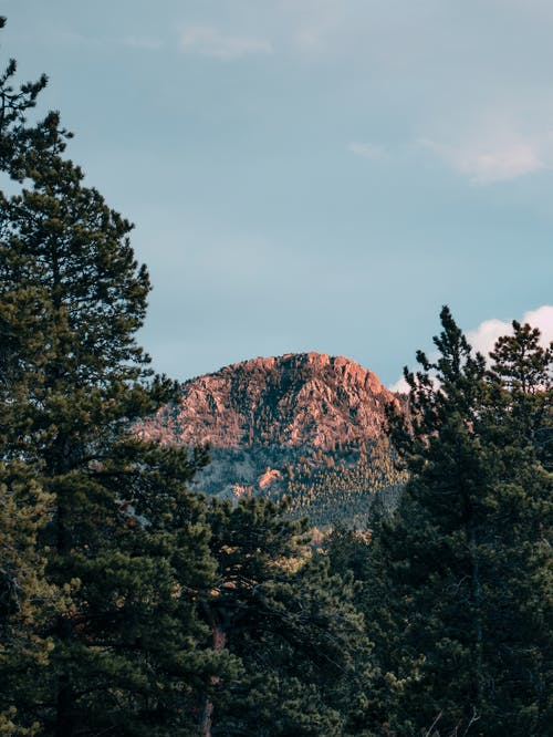 Pine Trees With Mountain in Distant