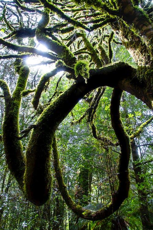 Free stock photo of rainforest, tasmania, temperate rainforest