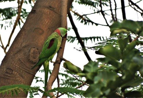 Fotos de stock gratuitas de loro alejandrino, pájaro, perico alejandrino