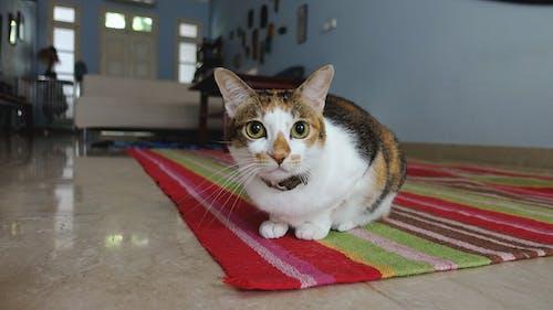 Základová fotografie zdarma na téma kočičí obličej, kočičí oči, kočka