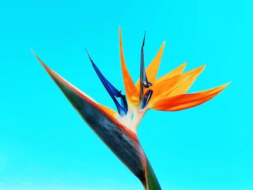 Fotobanka sbezplatnými fotkami na tému # vták z raja, #ave de paraíso, #flor, #kvetina