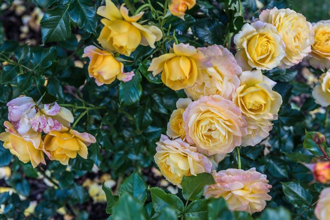 beautiful flowers, roses