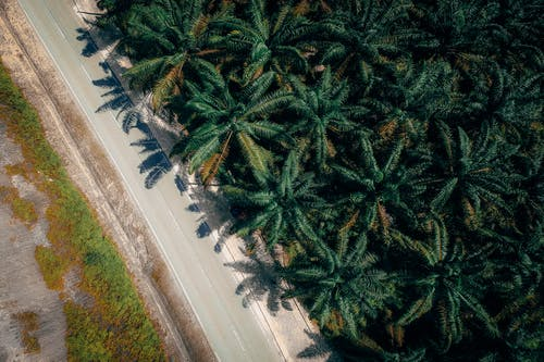 Aerial View of Coconut Trees Near the Road