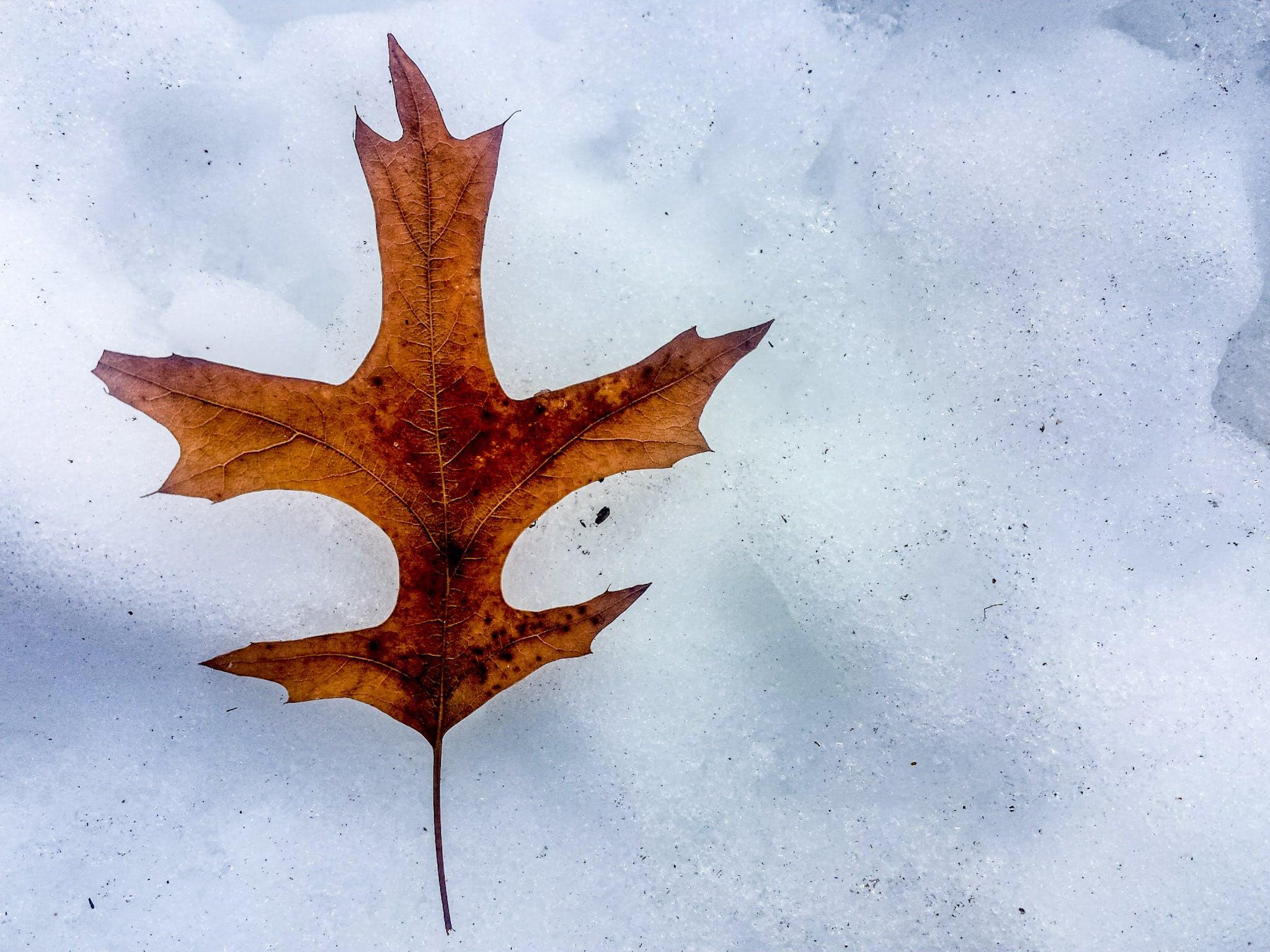 Free stock photo of dried leaf, oak leaf, snow