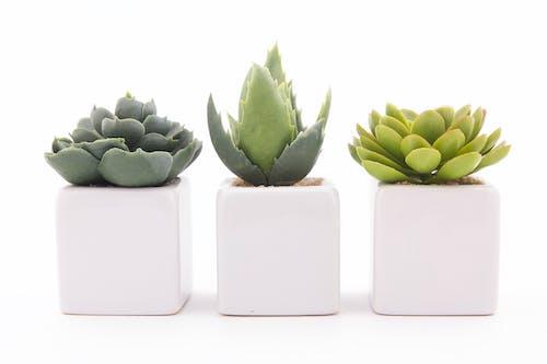 Immagine gratuita di bianco, bianco e verde, pianta grassa