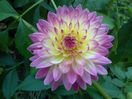 Бесплатное стоковое фото с полевой цветок, пурпурные цветы, сад цветов, цветы