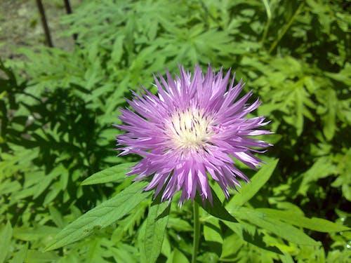 Бесплатное стоковое фото с осенние цветы, полевой цветок, пурпурные цветы, сад цветов
