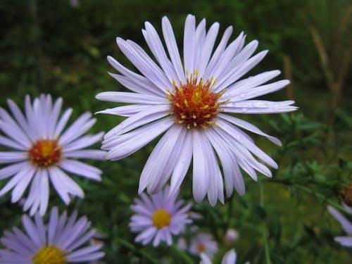 Бесплатное стоковое фото с осенние цветы, полевой цветок, сад цветов, цветы