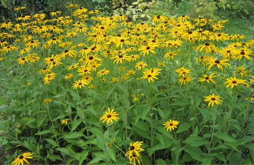 Бесплатное стоковое фото с желтые цветы, осенние цветы, полевой цветок, сад цветов