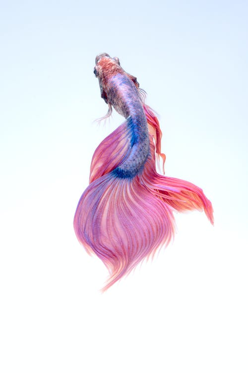 Close Up Van Een Siamese Fighting Fish