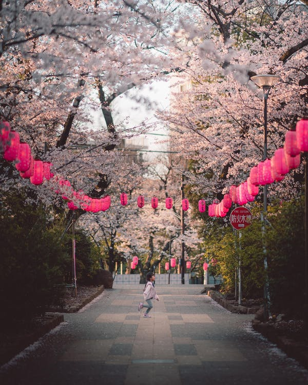 Child on Paved Walkway With Lanterns Under Cherry Blossom Trees