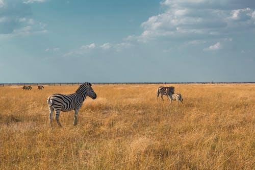 Photo Of Zebras On Grass