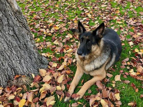 Foto profissional grátis de animal, árvore, cachorro, pastor alemão