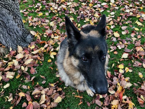 Foto profissional grátis de animal, cachorro, pastor alemão, retrato