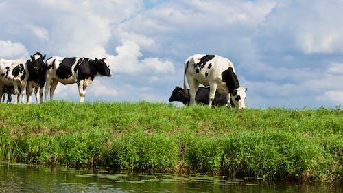 alan, büyükbaş hayvan sürüsü, büyükbaş hayvanlar, çayır içeren Ücretsiz stok fotoğraf