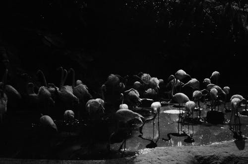 Grayscale Photo of Flamingos