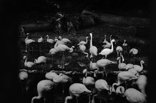 Grayscale Photo of Swans