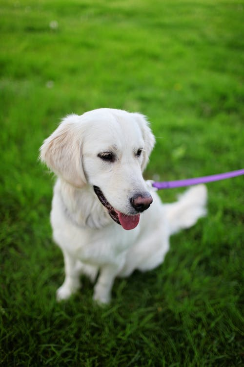 Adult Cream Golden Retriever Sitting on Grass Field