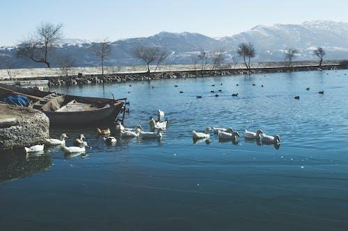 アヒル, ボート, 日光, 水の無料の写真素材