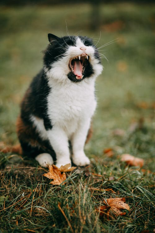 Kostnadsfri bild av bicolor katt, däggdjur, djur, gräs