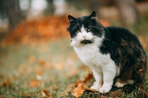 Безкоштовне стокове фото на тему «біколор кішка, кішка, котячі очі, кошеня»