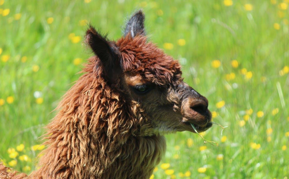 dyr, dyreportræt, lama