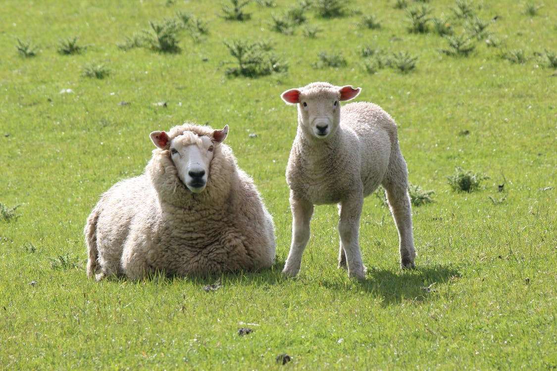 Fotos de stock gratuitas de animales, naturaleza, oveja