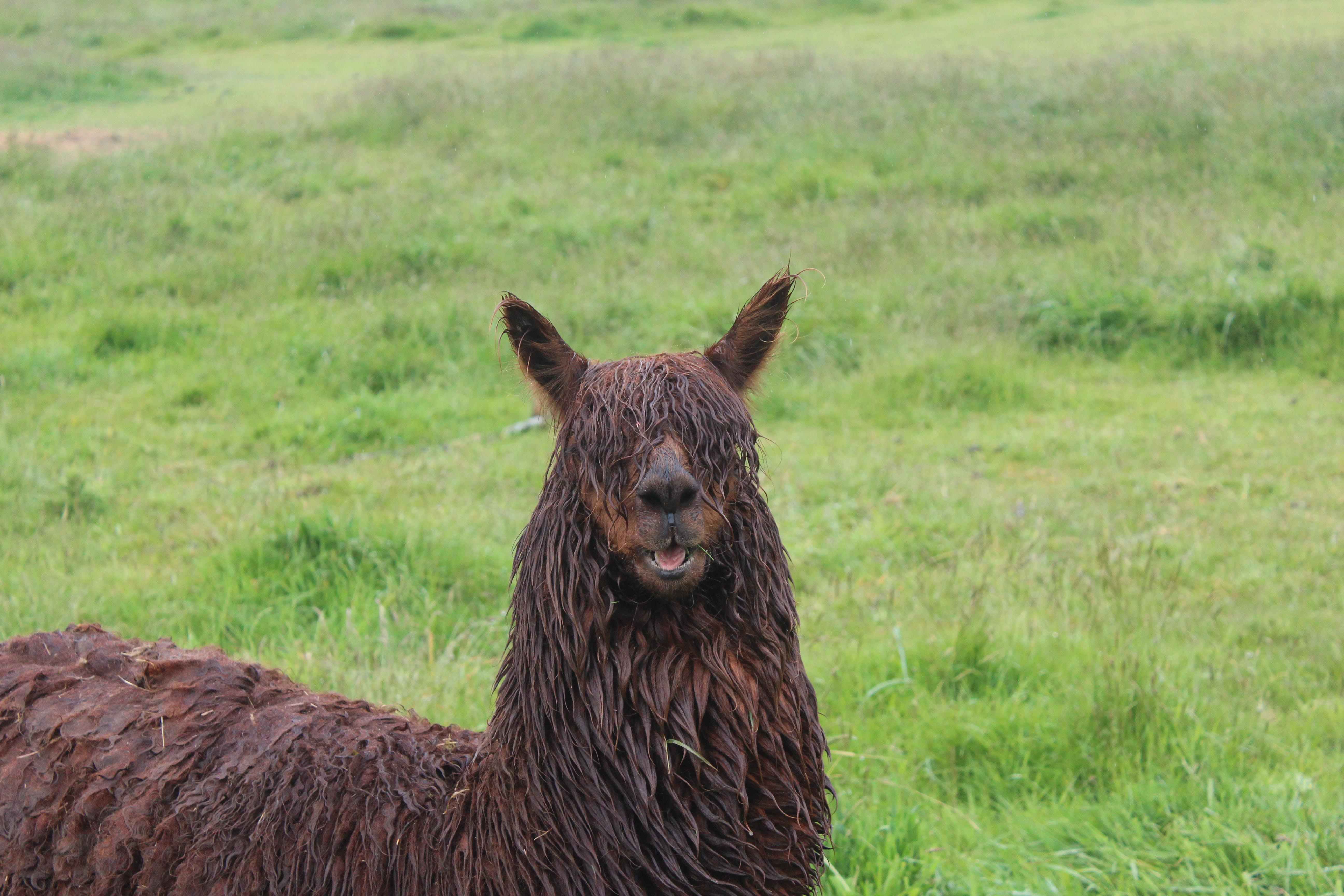fotografování zvířat, lama, příroda