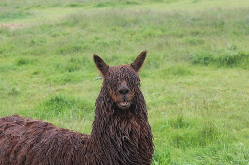 Free stock photo of animal photography, animal portrait, llama