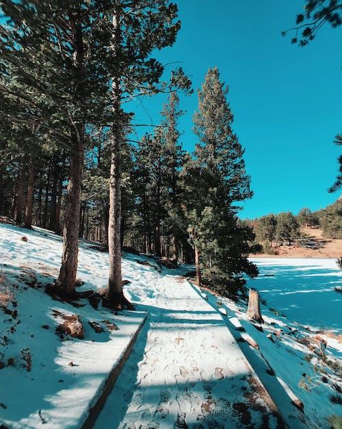 Free stock photo of blue, pine trees, snow